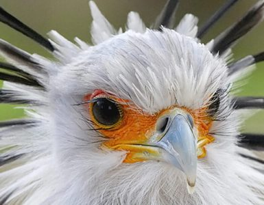 picture of a secretary bird